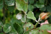 Ωίδιο: Γιατί ασπρίσανε τα φύλλα της τριανταφυλλιάς