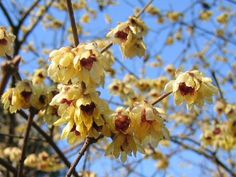 Chimonanthus Praecox - 'Grandiflorus' is a bushy deciduous medium-sized shrub, with shiny lanceolate leaves to 15cm in length. Flowers small, highly fragrant, waxy yellow with maroon centre in winter 'Luteus' is a medium-sized, bushy deciduous shrub, with rough-textured, glossy, lanceolate leaves to 20cm in length, and small, highly fragrant, waxy yellow flowers in winter