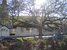 Dillard University Field Survey - A tree located near university chapel and library