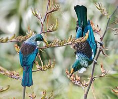 Related image Beautiful Birds, Beautiful Pictures, Tui Bird, Kingfisher, Bird Art, Animals And Pets, New Zealand, Nativity, Bluebirds