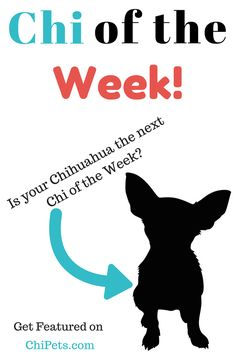Interested in being our next Chi of the Week?   Do you want your dog to star on ChiPets.com? We do too! The process is quite simple to have us feature your Chihuahua as our next Chi of the Week: all you have to do is email us at ChiOfTheWeek@ChiPets.com with you dog's name, age, …