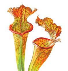 Sarracenia plant illustration by Rosie Sanders Fruit Illustration, Botanical Illustration, Botanical Flowers, Botanical Prints, Botanical Drawings, Watercolor Flowers, Watercolor Art, Plante Carnivore, Freelance Illustrator