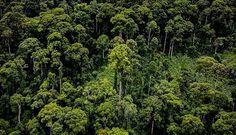 Arboles Tropicales más Altos del Mundo – MAGAZINE OMNITRAVEL