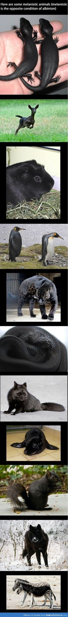 Melanism - Dark coloration of the skin, hair, fur, or feathers because of a high concentration of melanin. Opposite of Albino. I never considered that there was an opposite of albinism. Rare Animals, Animals And Pets, Funny Animals, Exotic Animals, Unique Animals, Amazing Animals, Animals Beautiful, Adorable Animals, Melanistic Animals