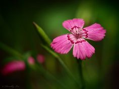 Dianthus In The Garden Shadows by Dorothy Lee #photography #flowers