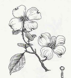 pen and ink dogwood branch - Google Search