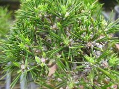 『盆栽:松の新芽の様子』