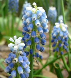 Aucher-Eloy Grape Hyacinth 'Mount Hood' (Muscari aucheri)