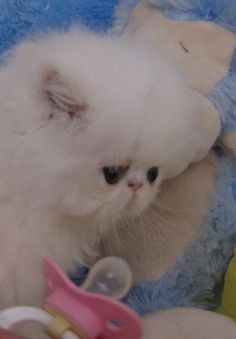 A white Mini Purr.....they may have grumpy faces, but they're ridiculously cute :)