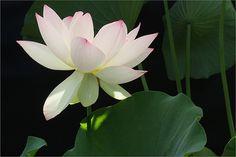 Lotus Flower - IMG_2902-1000 | Lotus Flower | Bahman Farzad | Flickr