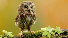 The Miniature Northern Saw-Whet Owl Photograph by Jason Idzerda. The Northern Saw-whet Owl is a small owl native to North America. Cute Baby Owl, Baby Owls, Cute Baby Animals, Cute Babies, Wild Animals, Nature Animals, Lil Baby, Funny Animals, Owl Babies