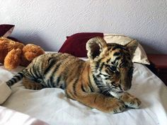 Exotic creatures: This young Tiger Cub is being sold for 60,000 Mexican Pesos, or $3953, by the Obsidian Reptiles in San Luis Potosi. The store was investigated by Mexico's Federal Attorney for Environmental Protection but they were cleared of any wrongdoing