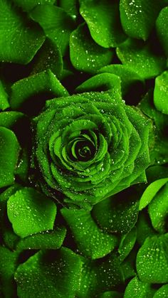 Rare Roses, Love Wallpaper, Green Rose, Flowers, Plants, Wallpapers, Flora, Planters, Royal Icing Flowers