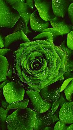 Rare Roses, Love Wallpaper, Green Rose, Flowers, Plants, Wallpapers, Wallpaper Of Love, Florals, Plant
