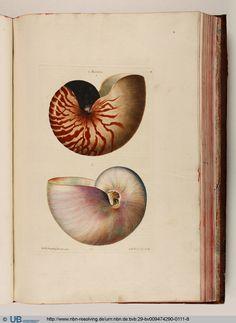 Nautilus, Georg Wolfgang Knorr, Deliciae Naturae Selectae, 1766. Nuremberg.