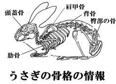 うさぎの骨格図。主に頭蓋骨、肩甲骨、背骨、肋骨、臀部の骨、前足と後ろ足の骨、指等の骨で構成されている
