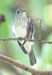 It took scientists 17 years to name the Sulawesi streaked flycatcher.