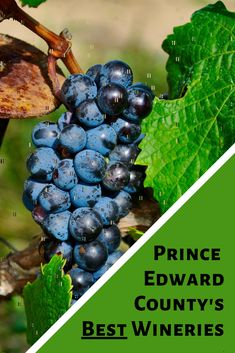 When visiting Prince Edward County, stop in at some of the provinces best wineries. From Sandbanks to Rosehall Run, these are the places you need to visit. #princeedwardcounty #visitthecounty #pec #explorethecounty #pectravel #southeasternontario #explorecanada #destinationontario #ontario #canada #ontariotravel #canadatravel #traveldestinations #exploreontario #destinationontario #easternontario  #princeedwardcountywine #ontariowineries #princeedwardcountywineries #wine Canadian Passport, Picnic Box, Ontario Travel, Prince Edward, The Province, Fine Wine, Wineries, Canada Travel, Cool Places To Visit