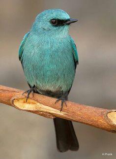 Verditer Flycatcher. India.