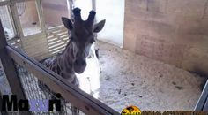 HARUPURSVILLE, New York -- All eyes continue to be on April the giraffe. Everyone is waiting for her to give birth. Video of the giraffe, who is at the Animal Adventure Park in New York, went viral last week as millions of people stayed glued to her story.  Animal Adventure Park posted the latest on April on its Facebook page Monday morning: