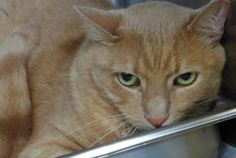 Meet C-65272  Buttons, a Petfinder adoptable Domestic Short Hair Cat | Mount Holly, NJ | This handsome boy is Buttons, a friendly and sweet 2 year old declawed kitty; he is a little over...
