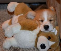 And now have this corgi sleeping with a stuffed version of itself BLOW YOUR…