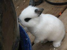 Netherland Dwarf Rabbits | Netherland Dwarf Rabbit Picture #4616 | Pet Gallery | PetPeoplesPlace ...