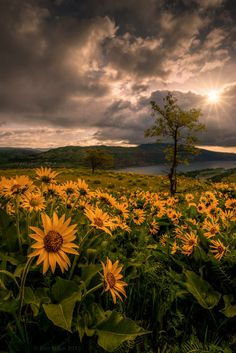 Balsamroot Heaven by Dan Mihai Brief sunshine between two rain storms, about one hour after sunrise. Rowena Crest, Columbia River.