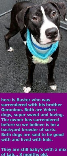 SAFE 1-16-2016 by The Animal Haven Inc. --- Manhattan Center BUSTER – A1061234  **SAFER: EXPERIENCED HOME**  MALE, BLACK / WHITE, LABRADOR RETR / PIT BULL, 8 mos OWNER SUR – EVALUATE, NO HOLD Reason TOO HYPER Intake condition EXAM REQ Intake Date 12/22/2015 http://nycdogs.urgentpodr.org/buster-a1061234/