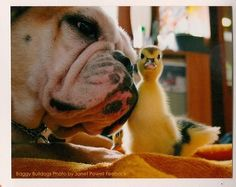 ♥ Baggy Bulldogs ♥ See the Bulldog Animals Friends Collection here: http://baggybulldogs.wordpress.com/funstuff-2/collections/animal-friends