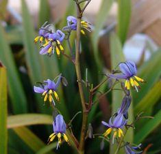 Dianella tasmanica - Flowers