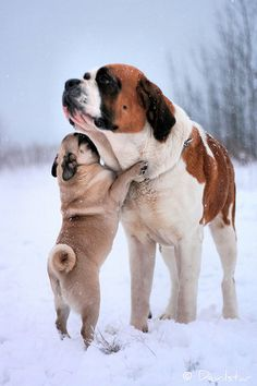 pug and saint bernard...growing up with Butchie and Brandy.  They loved each other so. Fond memories.