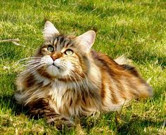 Stunning coloring on this Maine Coon Cat . . . . http://www.mainecoonguide.com/