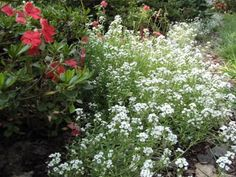 Sweet allysum (white flower border)