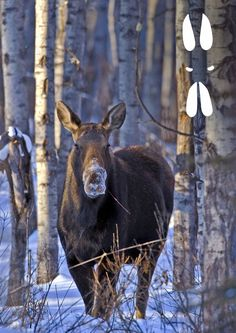 My Dream Home, Finland, Moose, Wildlife, World, Nature, Animals, Winter Craft, Project Ideas