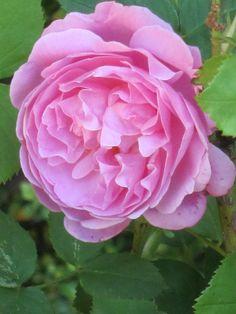 'Mary Rose' | Shrub. English Rose Collection. David C. H. Austin, 1983 | Flickr - © Bentobird