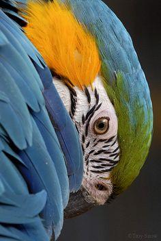 Looks like My beloved Tango green wing macaw. Wonderful temperament- so loving & badly missed.