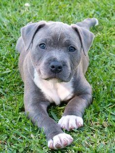 lab pitbull mix puppies Puppies Pitbull mix puppies