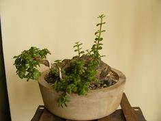Bonsai Collection of a member of Ahmedabad Bonsai Club: Jade Bonsai - Inform Style Mame