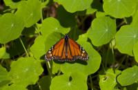Butterflies on the move in Northern California Stuff To Do, Things To Do, San Francisco Bay, Northern California, Bay Area, Butterflies, Wanderlust, Things To Make, Butterfly