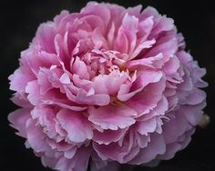 Jackpot - Late Lactiflora, double, pink, big high built deep pink double, arching, (William H. Krekler-Roy G. Klehm, USA, 1977). www.peonyshop.com