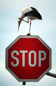Heed the call A stork stands on a stop sign in Germany on Oct. 15.