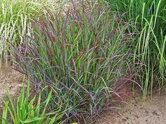 Prairie Winds™ 'Cheyenne Sky' - Red Switch Grass - Panicum virgatum