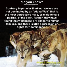 """pterobat:  naamahdarling:  did-you-kno:  Source  Wolves fighting for dominance as a """"thing"""" came from observation of captive packs. Observation of genuinely wild packs has revealed that it is not, in fact, a """"thing.""""   Y'hear that, ya dumbass modern werewolf writers?  Please write werewolves who aren't obsessed with false power dynamics—or at least have the ones who do act this way have a history of captivity. That could be super interesting. There's a writing prompt for ..."""