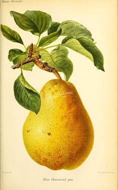 Pear, 2 - high resolution image from old book. Botanical Drawings, Botanical Art, Paris, Sketches, Poster, Painting, Vintage Illustrations, Image, Collage