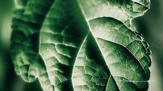 Hey, I found this really awesome Etsy listing at http://www.etsy.com/listing/103615946/green-leaf-11x14-fine-art-photograph