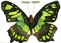 Siproeta Stelenes (Malachite Butterfly) by Carol Kroll    Media: Watercolor and vintage collage