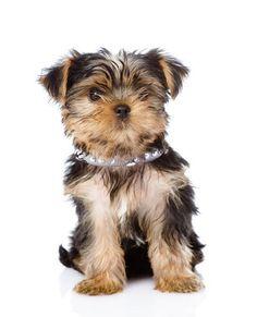 collare cani piccola taglia pet fashion accesories