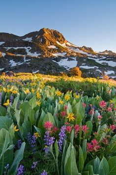 Alpine Garden - Carson Pass, In The Sierra Nevada, Is Home To One Of The Most Beautiful Wildflower Displays In The Country. by kari