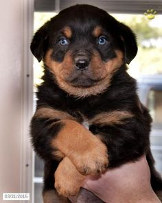 Rottweiler puppy with blue eyes